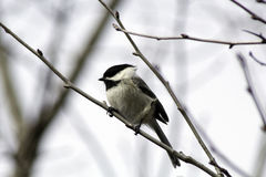 Black Cap Attack. A black capped chickadee ready to attack the bird feeder this spring Royalty Free Stock Photos
