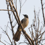 Black-cap Babbler in The Gambia Stock Image