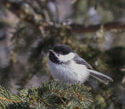 Black Cap Chickadee. A Black Cap Chickadee warms itself on a spruce branch Royalty Free Stock Images