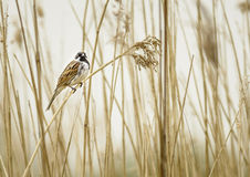 Black Cap on a Reed Stock Images