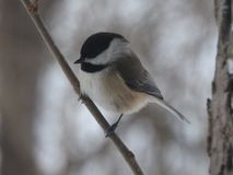 Black caped chickadee stock images
