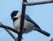 Black Caped Chickadee. Perched on a branch stock images