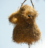 Black-caped social weaver at nest. The Black-caped social weaver builds complex nests using long and thin twigs which are skillfully woven and entangled to Royalty Free Stock Photo