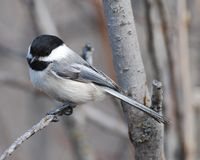 Black Cappe Chickadee perching Stock Photo