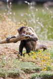Black-capped Capuchin Stock Image