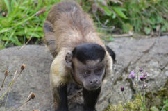Black Capped Capuchin Monkey Up Close and Personal royalty free stock photography