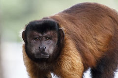 Black-capped Capuchin stock photography
