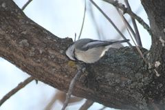 black capped chickadee royaltyfria bilder