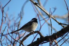 black capped chickadee arkivfoton