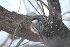 black capped chickadee royaltyfri fotografi