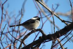 black capped chickadee royaltyfri foto