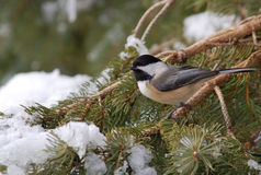 Black-capped Chickadee. Photograph of a Black-capped Chickadee on a snow covered winter pine bough royalty free stock image