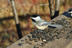 Black-capped Chickadee. Feeding On Seeds In Morning Sun Stock Image