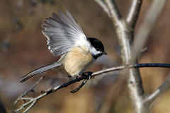Black-capped Chickadee. Perched On Branch Open Wing royalty free stock photo