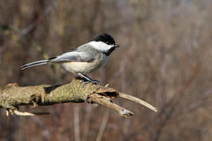 Black-capped Chickadee Royalty Free Stock Images