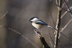 Black Capped Chickadee. A photo of a black capped chickadee on a perch Royalty Free Stock Image