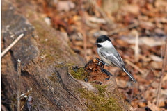 Black-capped Chickadee. On Log In Morning Sun Stock Image