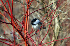 Black-capped Chickadee. On Branch In Morning stock photo