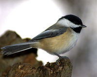 Black-capped chickadee. Blck-capped chickadee perched on a stump royalty free stock images
