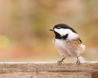 Black-capped chickadee. Closeup of a black-capped chickadee Royalty Free Stock Photos