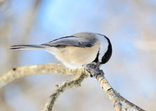 Black-capped Chickadee Royalty Free Stock Photography