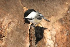 Black-capped Chickadee. Poecile atricapillus on stump in morning sun Stock Photography