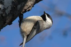 Black Capped Chickadee. Chickadee on the underside of a tree branch Stock Images