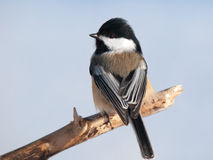 Black-capped Chickadee. Perched on a branch and looking backward stock photos