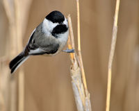 black capped chickadee arkivbilder