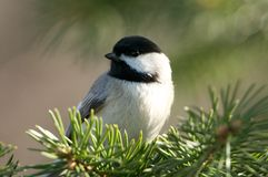 Black-capped Chickadee. A Black-capped Chickadee pauses on a spruce branch at the Great Swamp NWR in NJ stock photography
