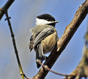 Black-capped Chickadee. A black-capped chickadee perched in the forest Royalty Free Stock Images