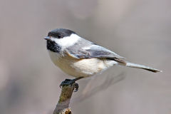 Black-capped Chickadee. Perched on a branch stock photos