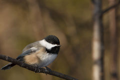 Black-capped chickadee. A black-capped chickadee is perch on a branch Royalty Free Stock Image