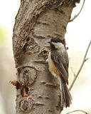 Black-capped Chickadee. An adult black-capped chickadee clinging to a birch tree in Ithaca, NY stock photo