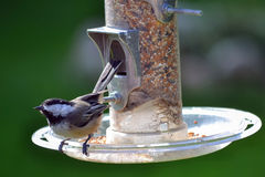 Black Capped Chickadee. Wild black capped chickadee bird on bird feeder in backyard royalty free stock photo