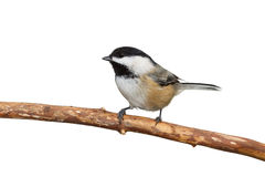 Black-Capped Chickadee. Profile of a plack capped chickadee sitting on a branch, white background stock image