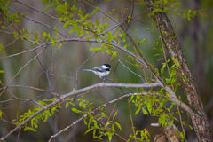 Black-Capped Chickadee. A black-capped chickadee gathers food in the spring stock image