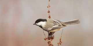 Black-capped chickadee. Taken at Dufferin Islands Niagara Falls Ontario Royalty Free Stock Photo