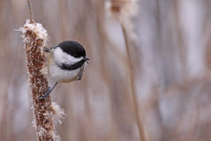 Black-capped Chickadee. A black-capped chickadee (Poecile atricapillus) sitting on a bullrush.  Shot in Southern Ontario, during winter Royalty Free Stock Photography