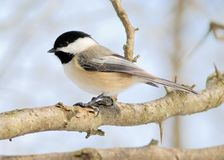 Black-capped Chickadee. Perched on a tree branch stock photos