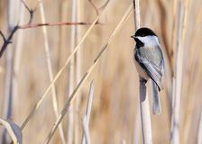 Black-capped Chickadee. Perched on a reed in a swamp stock photo