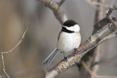 Black-capped Chickadee. Grand Bend, Ontario royalty free stock image