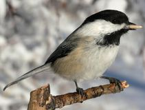 Black-capped Chickadee. (Poecile atricapilla) feeding from hand. Fish Creek Park, Calgary, Alberta, Canada stock image