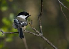 Black-capped Chickadee. Perched on a branch stock photo