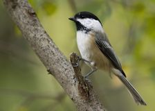 Black-capped Chickadee. Perched on a branch royalty free stock photo