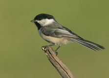 Black-capped Chickadee. A portrait of a Black-capped Chickadee stock image