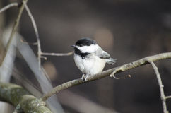 Black capped chickadee. The Black-capped Chickadee is a small, North American songbird, a passerine bird in the tit family Paridae. It is the state bird of both Royalty Free Stock Image