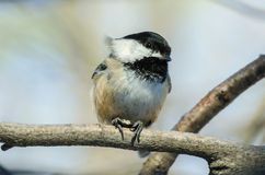 Black capped chickadee. The Black-capped Chickadee is a small, North American songbird, a passerine bird in the tit family Paridae. It is the state bird of both stock photography