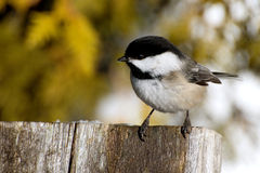 Black-capped Chickadee. On the tip of a fence royalty free stock photos
