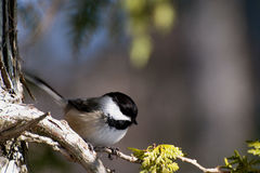 Black-capped Chickadee. On the tip of a fence stock photos